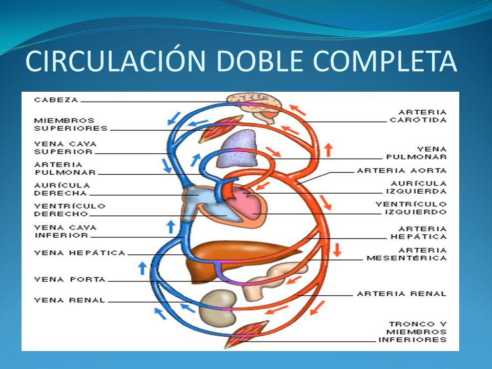 CIRCULACIÓN DOBLE COMPLETA