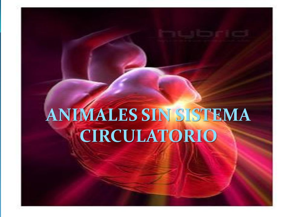 ANIMALES SIN SISTEMA CIRCULATORIO