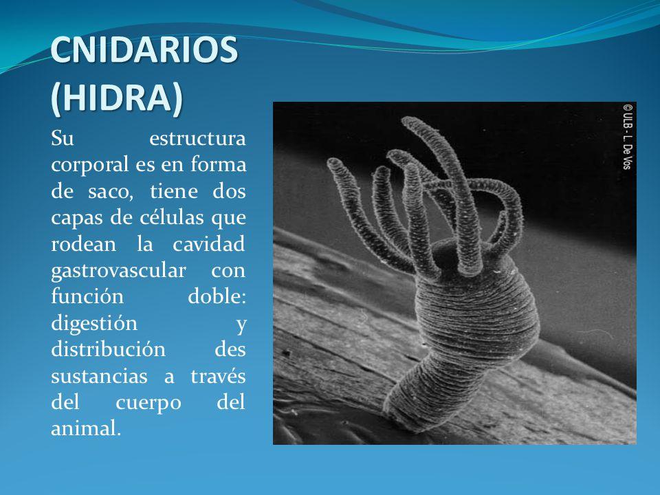 CNIDARIOS (HIDRA) Su estructura corporal es en forma de saco, tiene dos capas de células que rodean la cavidad gastrovascular con función doble: digestión y distribución des sustancias a través del cuerpo del animal.