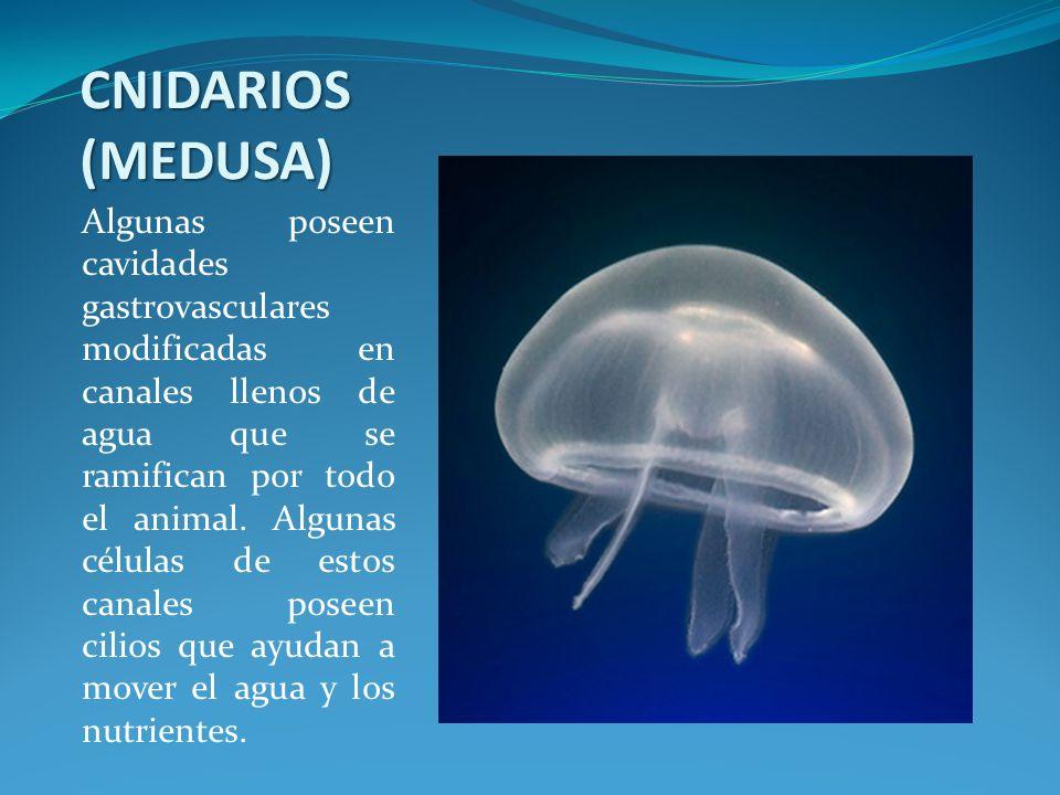 CNIDARIOS (MEDUSA) Algunas poseen cavidades gastrovasculares modificadas en canales llenos de agua que se ramifican por todo el animal. Algunas célula