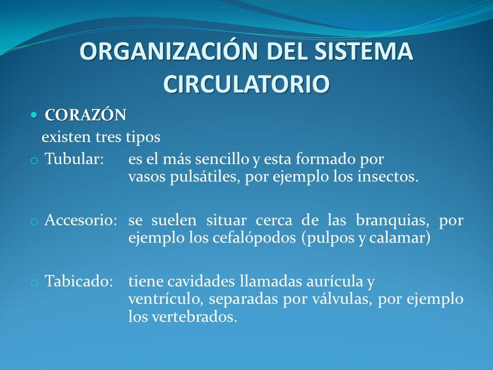 ORGANIZACIÓN DEL SISTEMA CIRCULATORIO CORAZÓN CORAZÓN existen tres tipos o Tubular: es el más sencillo y esta formado por vasos pulsátiles, por ejemplo los insectos.