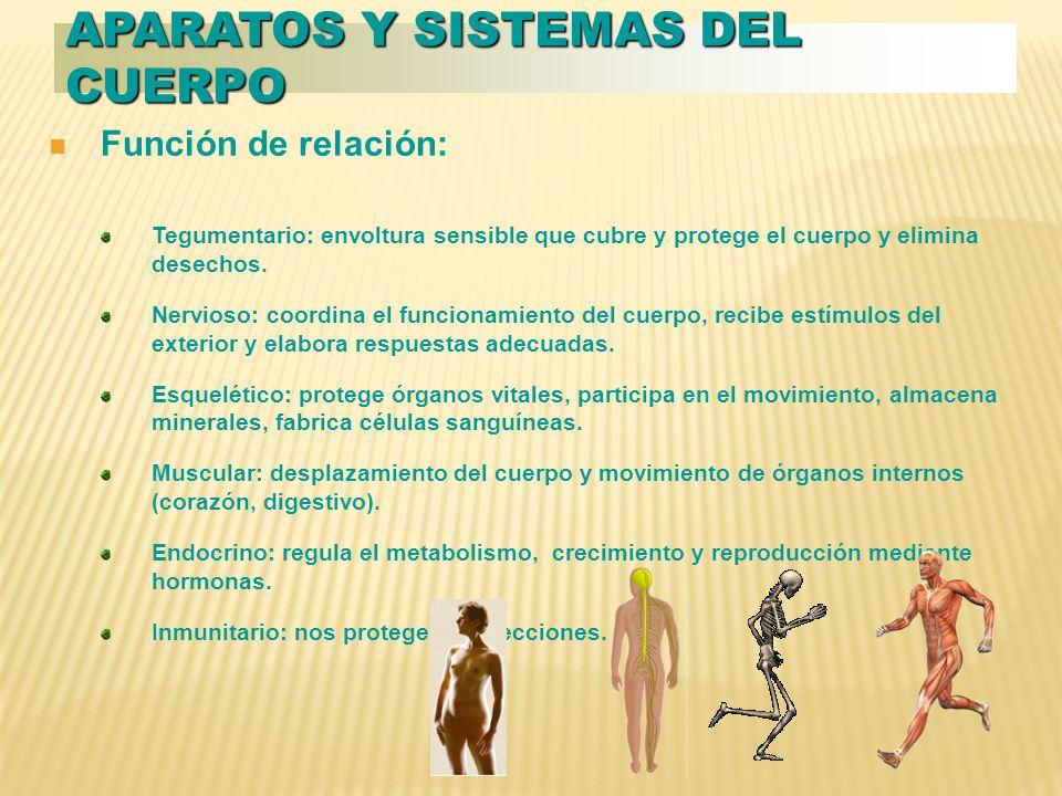 Función de relación: Tegumentario: envoltura sensible que cubre y protege el cuerpo y elimina desechos.