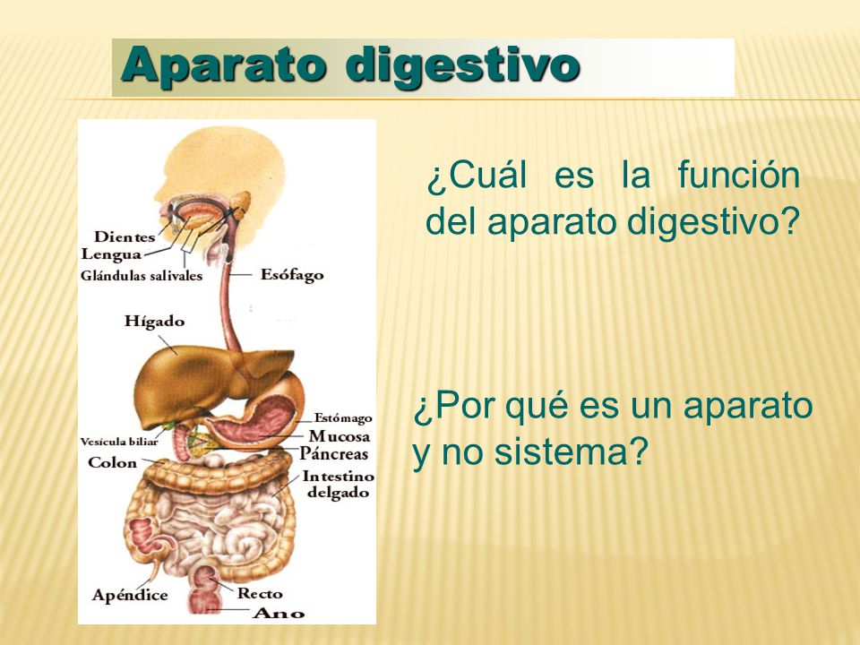 Aparato digestivo ¿Cuál es la función del aparato digestivo? ¿Por qué es un aparato y no sistema?