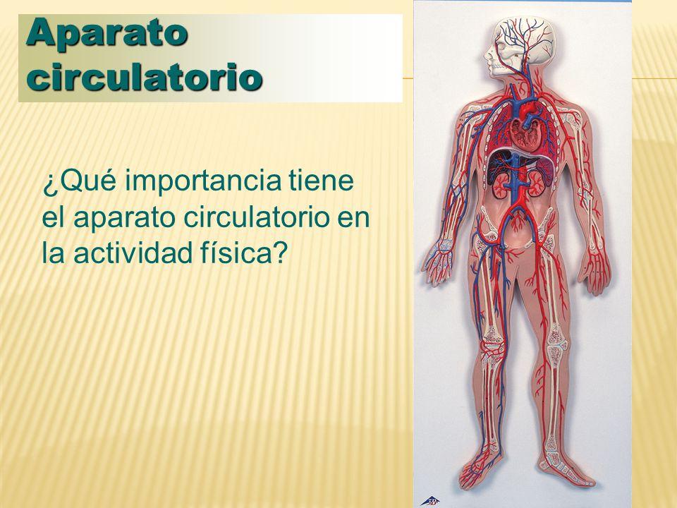 Aparato circulatorio ¿Qué importancia tiene el aparato circulatorio en la actividad física?