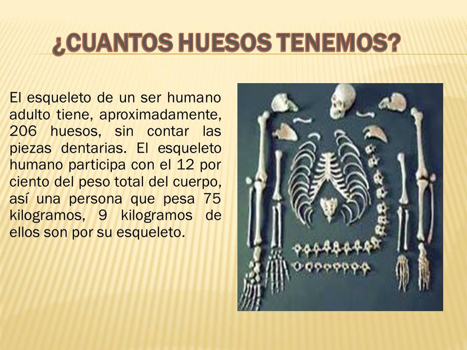 El esqueleto de un ser humano adulto tiene, aproximadamente, 206 huesos, sin contar las piezas dentarias.