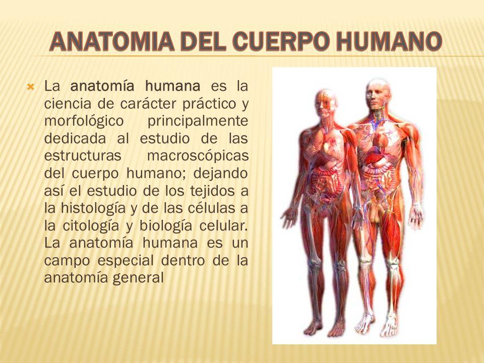 La anatomía humana es la ciencia de carácter práctico y morfológico principalmente dedicada al estudio de las estructuras macroscópicas del cuerpo humano; dejando así el estudio de los tejidos a la histología y de las células a la citología y biología celular.