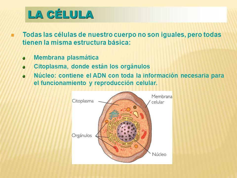 Todas las células de nuestro cuerpo no son iguales, pero todas tienen la misma estructura básica: Membrana plasmática Citoplasma, donde están los orgánulos Núcleo: contiene el ADN con toda la información necesaria para el funcionamiento y reproducción celular.