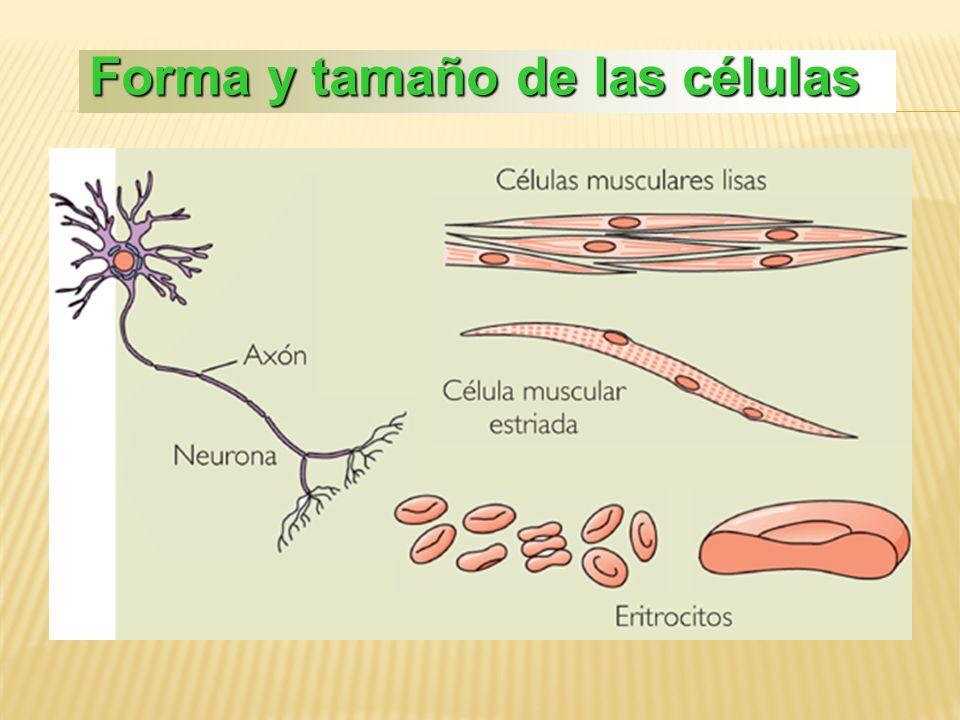 Forma y tamaño de las células