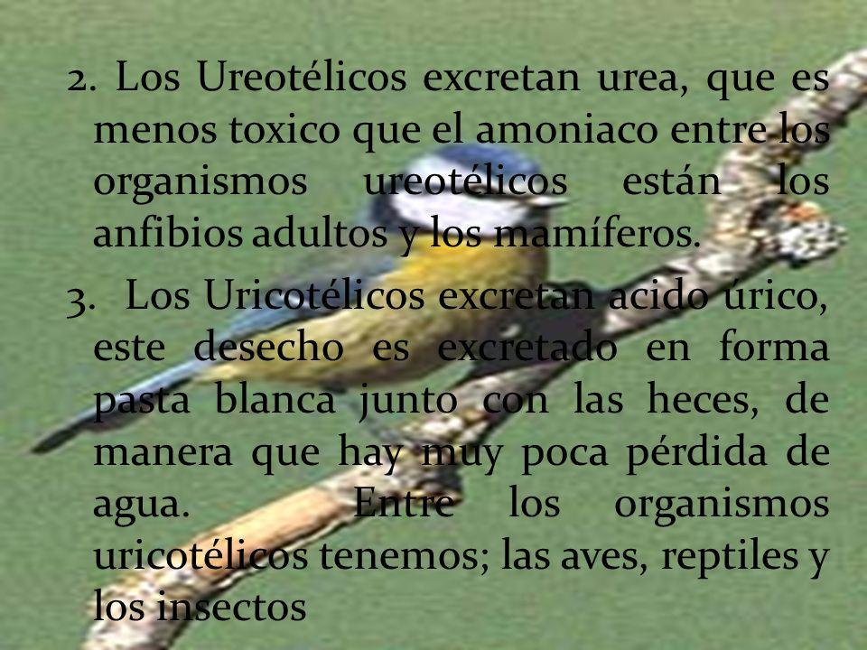 2. Los Ureotélicos excretan urea, que es menos toxico que el amoniaco entre los organismos ureotélicos están los anfibios adultos y los mamíferos. 3.