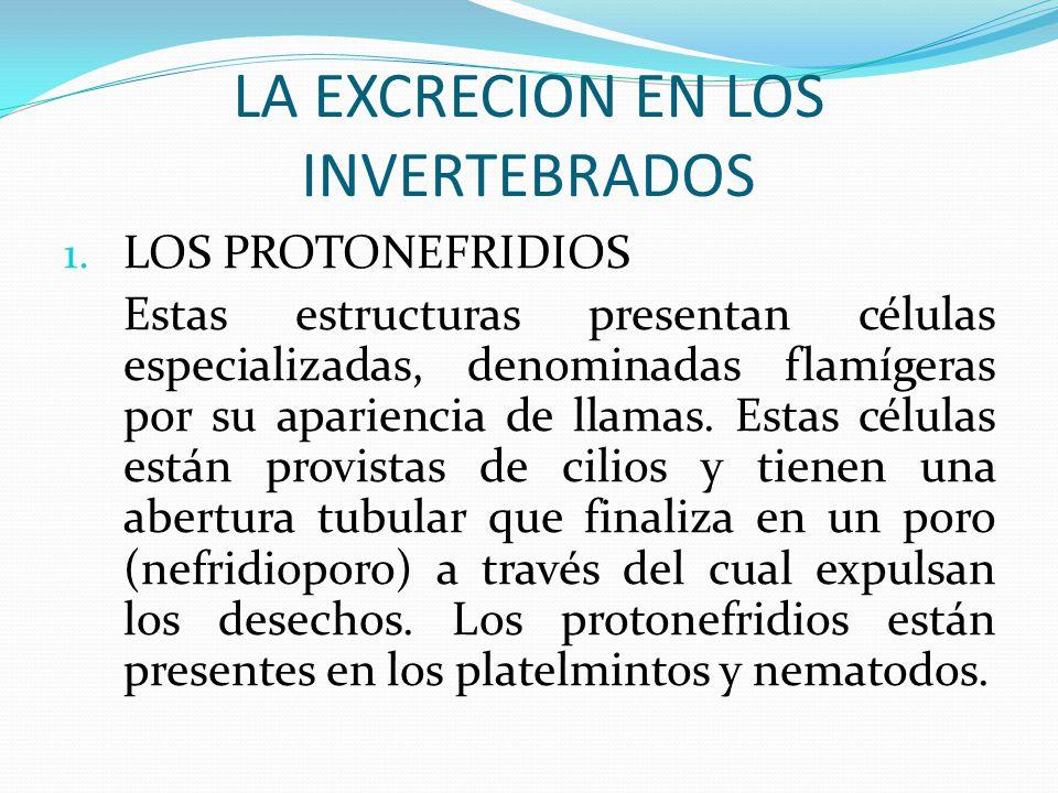 LA EXCRECION EN LOS INVERTEBRADOS 1. LOS PROTONEFRIDIOS Estas estructuras presentan células especializadas, denominadas flamígeras por su apariencia d
