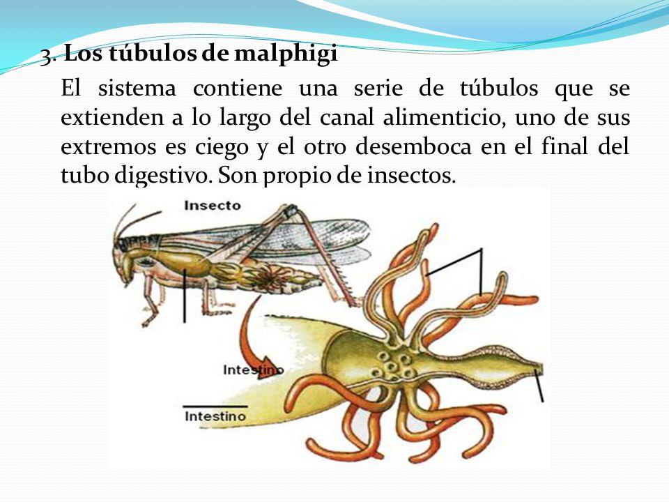 3. Los túbulos de malphigi El sistema contiene una serie de túbulos que se extienden a lo largo del canal alimenticio, uno de sus extremos es ciego y