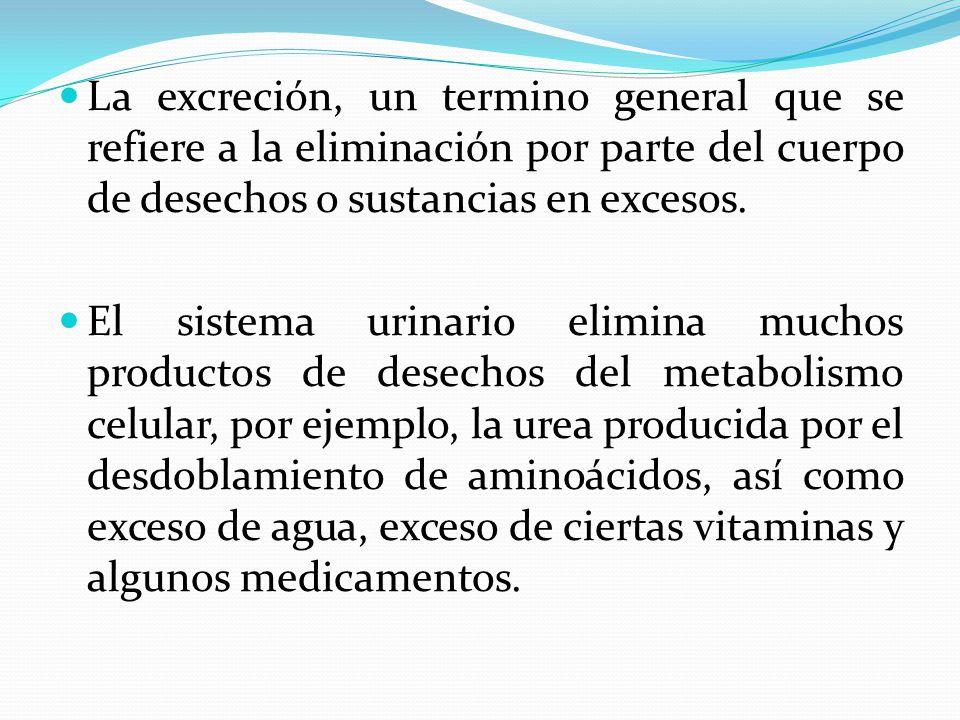 La excreción, un termino general que se refiere a la eliminación por parte del cuerpo de desechos o sustancias en excesos. El sistema urinario elimina