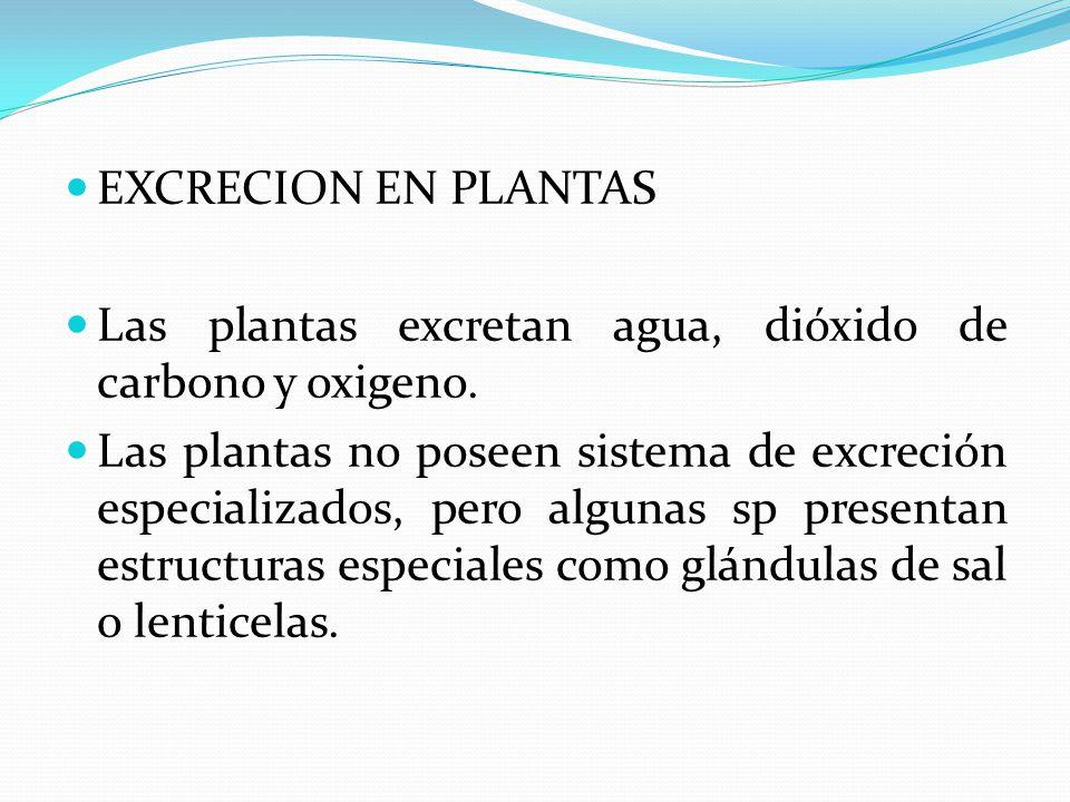 EXCRECION EN PLANTAS Las plantas excretan agua, dióxido de carbono y oxigeno. Las plantas no poseen sistema de excreción especializados, pero algunas