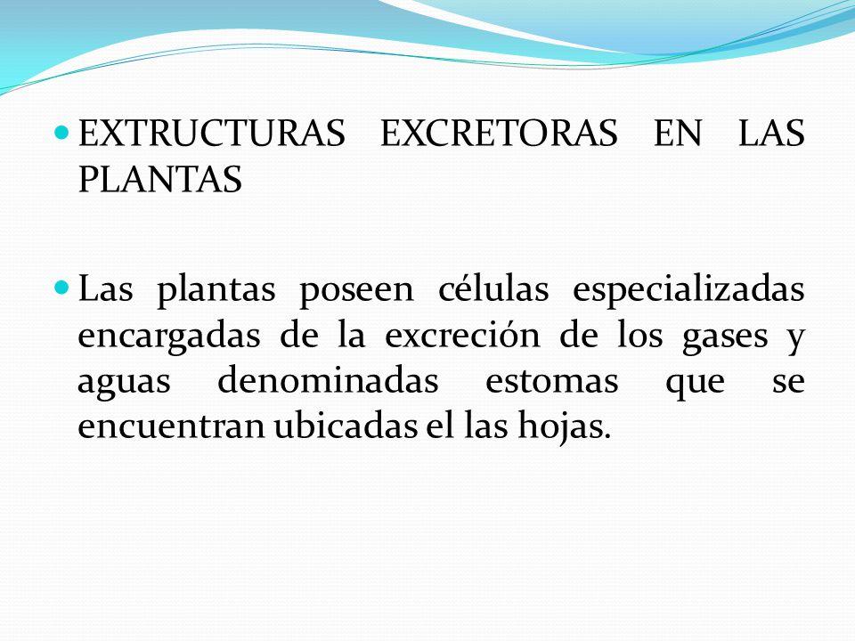 EXTRUCTURAS EXCRETORAS EN LAS PLANTAS Las plantas poseen células especializadas encargadas de la excreción de los gases y aguas denominadas estomas qu