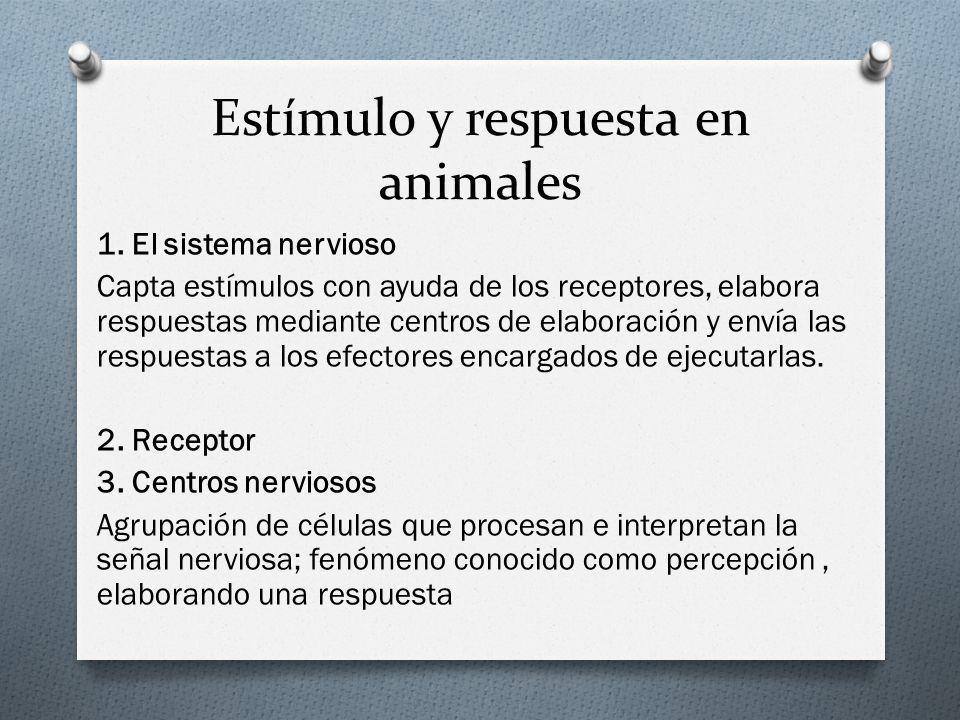 Estímulo y respuesta en animales 1. El sistema nervioso Capta estímulos con ayuda de los receptores, elabora respuestas mediante centros de elaboració