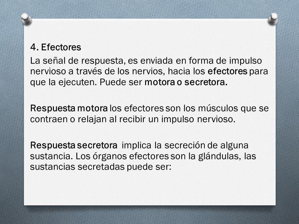 4. Efectores La señal de respuesta, es enviada en forma de impulso nervioso a través de los nervios, hacia los efectores para que la ejecuten. Puede s