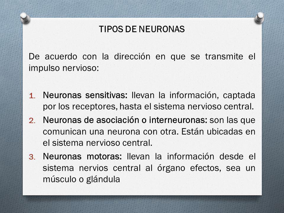 TIPOS DE NEURONAS De acuerdo con la dirección en que se transmite el impulso nervioso: 1. Neuronas sensitivas: llevan la información, captada por los