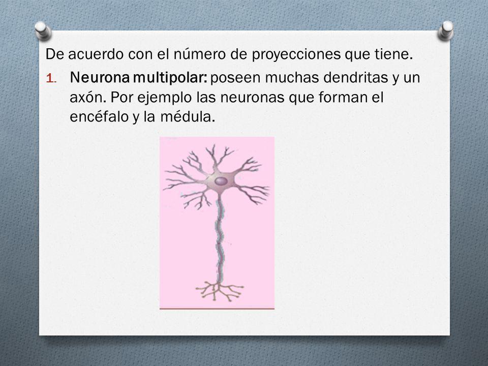 De acuerdo con el número de proyecciones que tiene. 1. Neurona multipolar: poseen muchas dendritas y un axón. Por ejemplo las neuronas que forman el e