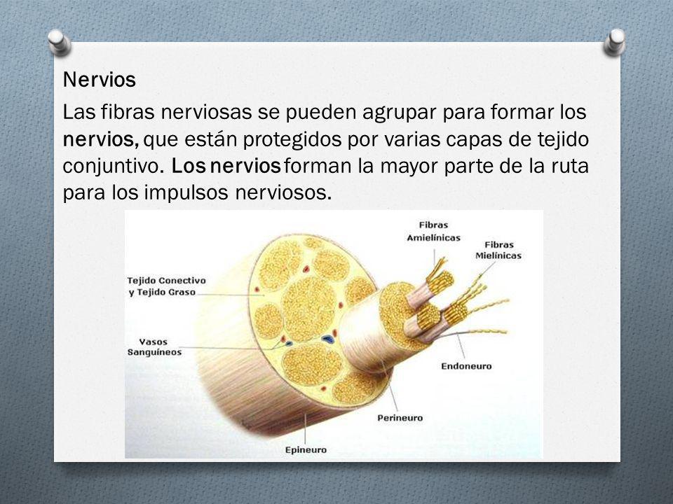 Nervios Las fibras nerviosas se pueden agrupar para formar los nervios, que están protegidos por varias capas de tejido conjuntivo. Los nervios forman