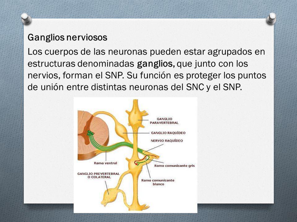 Ganglios nerviosos Los cuerpos de las neuronas pueden estar agrupados en estructuras denominadas ganglios, que junto con los nervios, forman el SNP. S