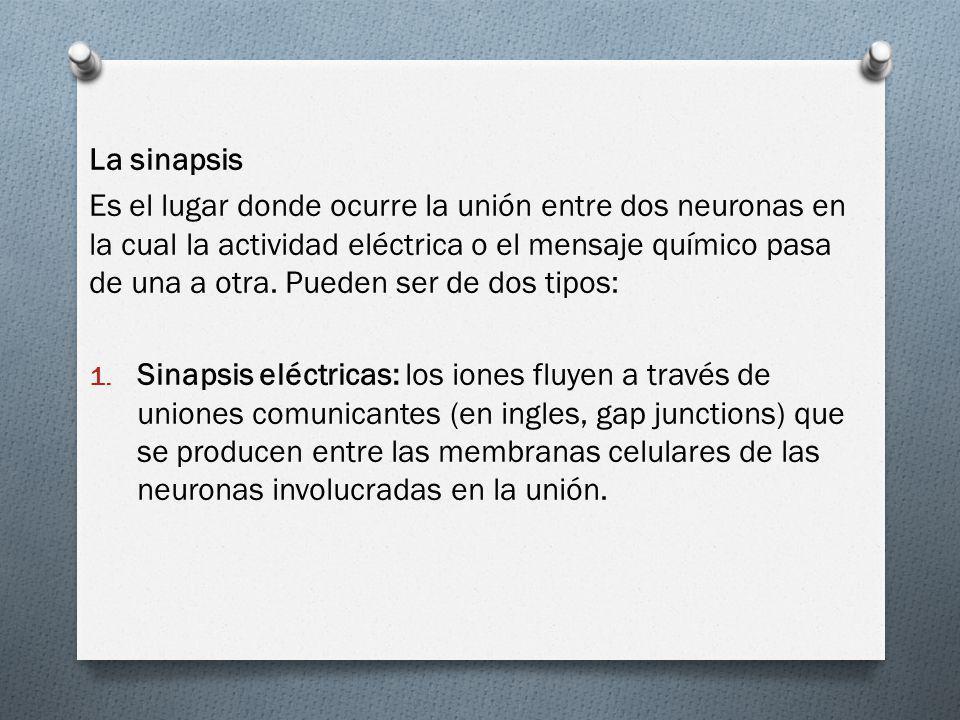 La sinapsis Es el lugar donde ocurre la unión entre dos neuronas en la cual la actividad eléctrica o el mensaje químico pasa de una a otra. Pueden ser