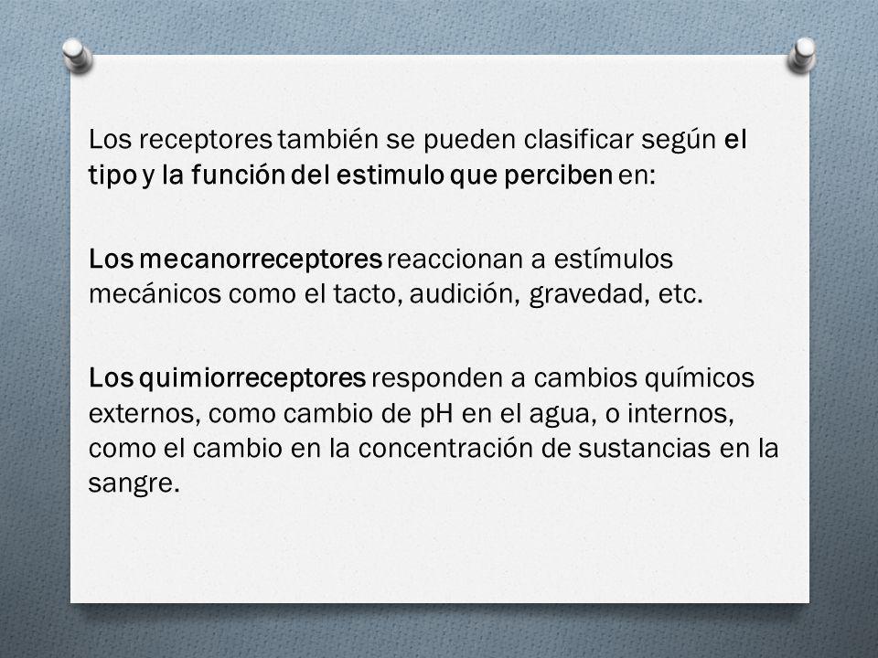 Los receptores también se pueden clasificar según el tipo y la función del estimulo que perciben en: Los mecanorreceptores reaccionan a estímulos mecá