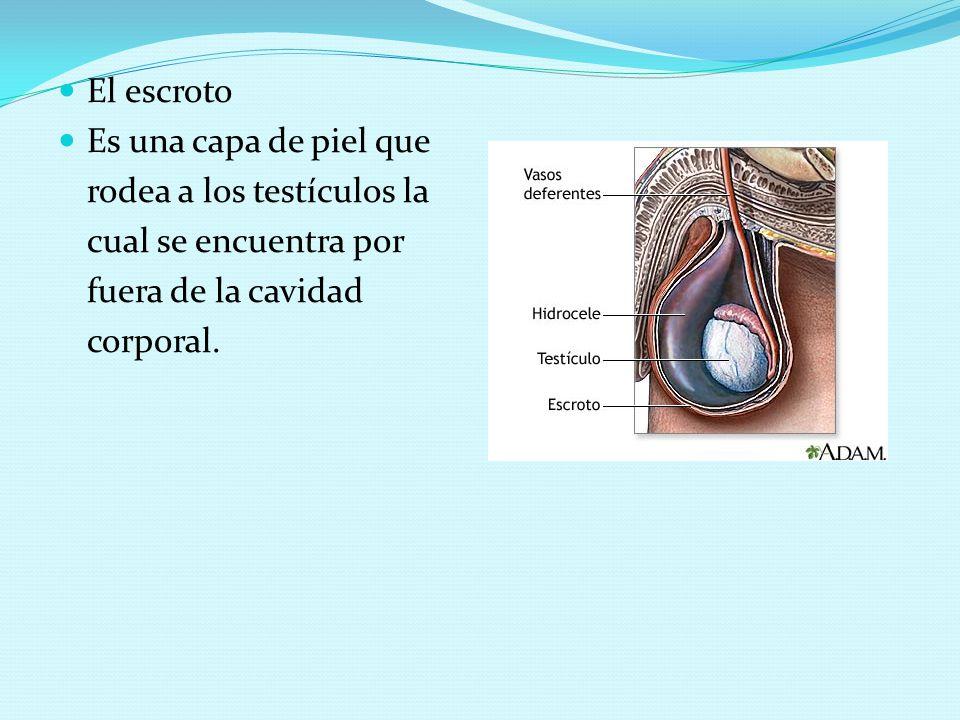 El escroto Es una capa de piel que rodea a los testículos la cual se encuentra por fuera de la cavidad corporal.