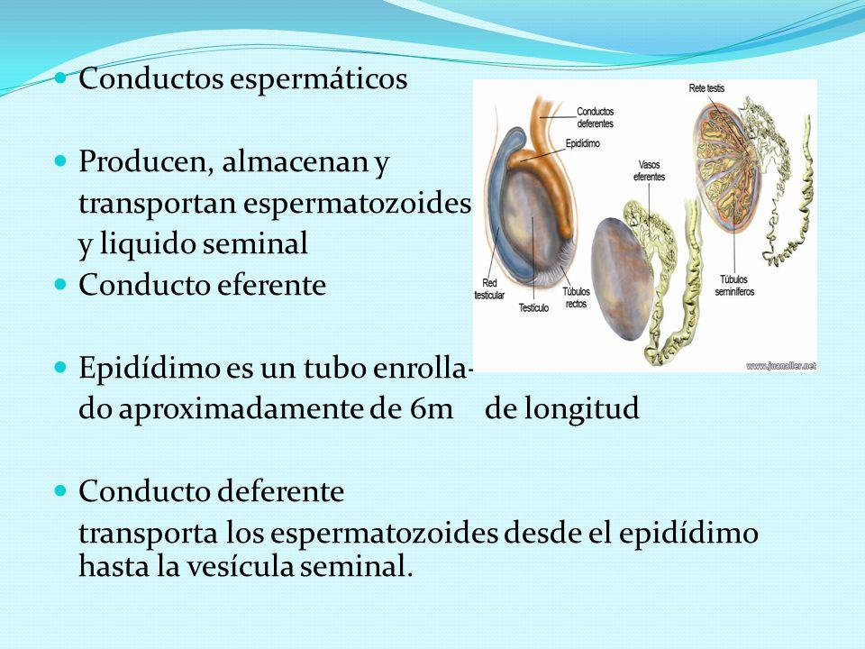 Conductos espermáticos Producen, almacenan y transportan espermatozoides y liquido seminal Conducto eferente Epidídimo es un tubo enrolla- do aproxima