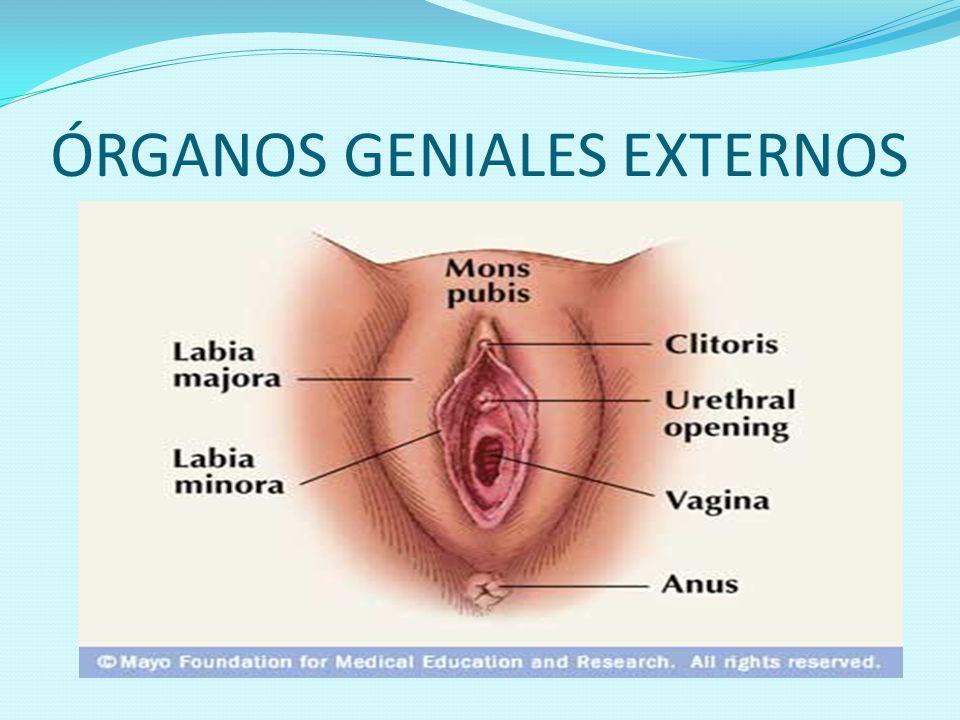 ÓRGANOS GENIALES EXTERNOS