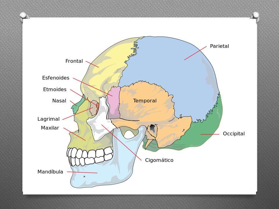 La columna vertebral Protege la medula espinal; además, es el soporte de la cabeza y sirve como punto de inserción de las costillas, la cintura pélvica y los músculos de la espalda.