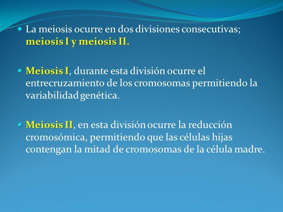 meiosis I y meiosis II.La meiosis ocurre en dos divisiones consecutivas; meiosis I y meiosis II.