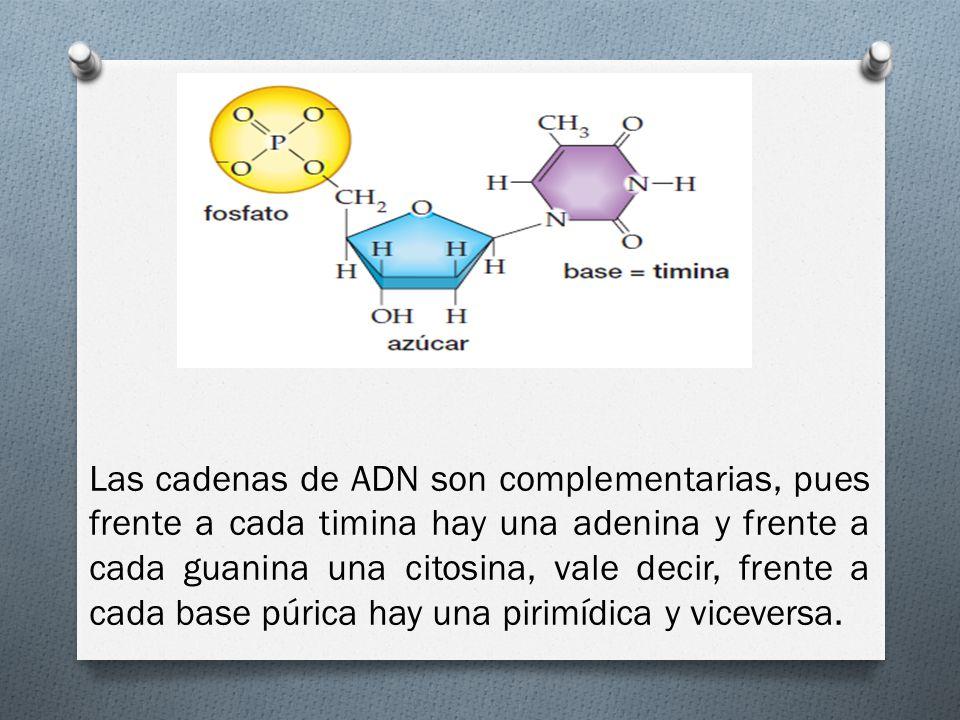 Las cadenas de ADN son complementarias, pues frente a cada timina hay una adenina y frente a cada guanina una citosina, vale decir, frente a cada base púrica hay una pirimídica y viceversa.