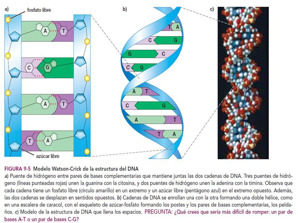 Si dos cromosomas homólogos tienen diferentes alelos en un locus, se dice que el organismo es heterocigótico (diferente par)en ese locus y en ocasiones se le conoce como hibrido.