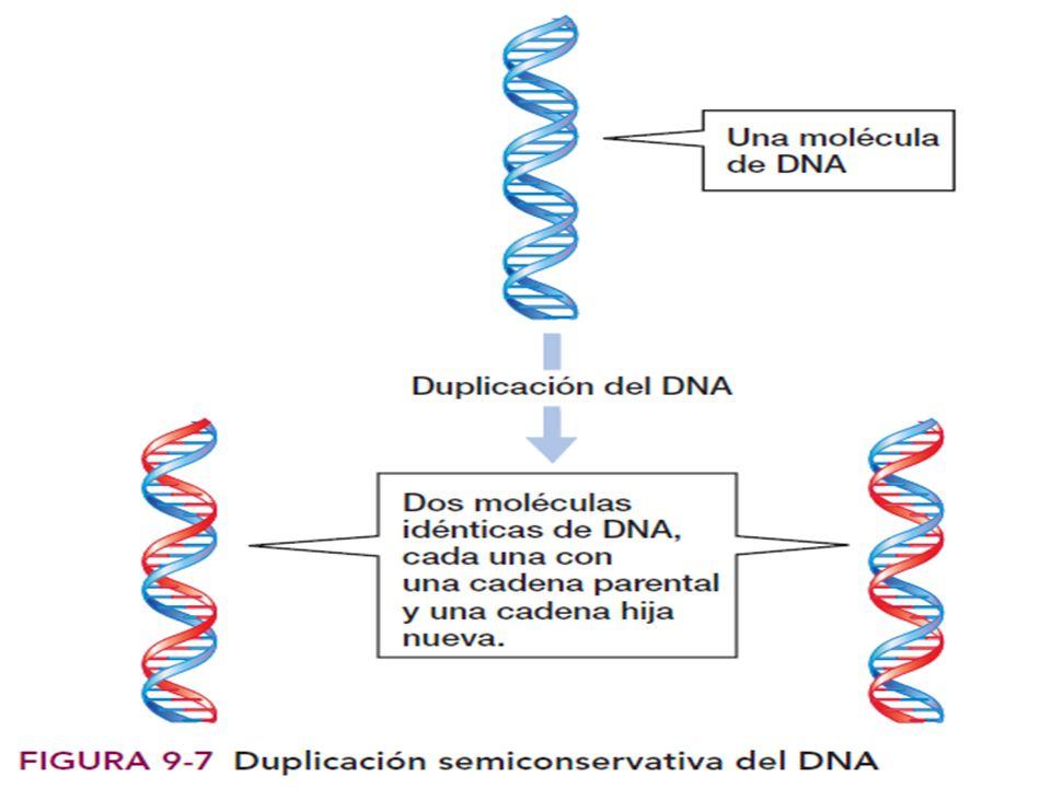 O Ejercicio O En una pareja el padre tiene grupo sanguíneo A heterocigoto y Rh+ heterocigoto y la madre grupo sanguíneo B heterocigoto y Rh-