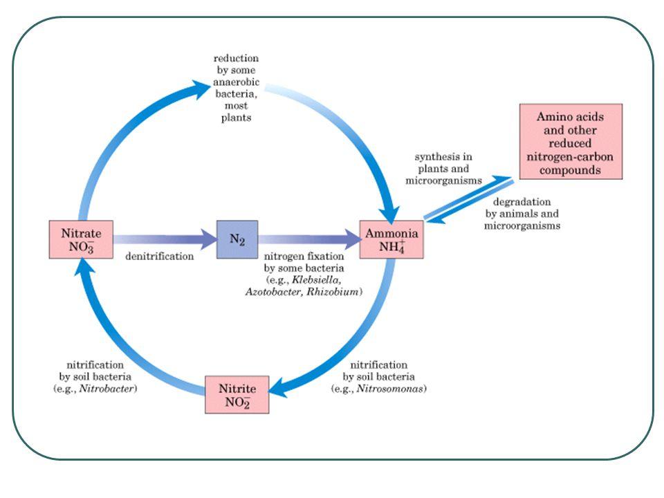 Inoculación de bacterias simbióticas Se debe realizar la inoculación bajo sombra.