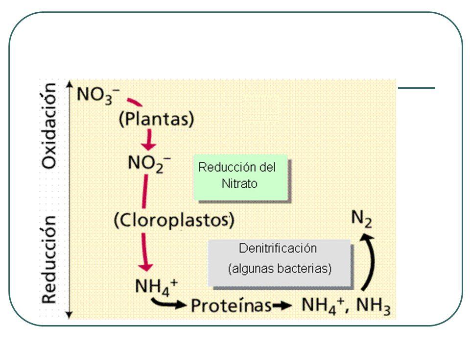 Inoculación de bacterias de vida libre Mezclar previemente 100 Kg de estiércol, humus o una mezcla de tierra negra-arena humedecida, con 200 gr del inoculante específico.