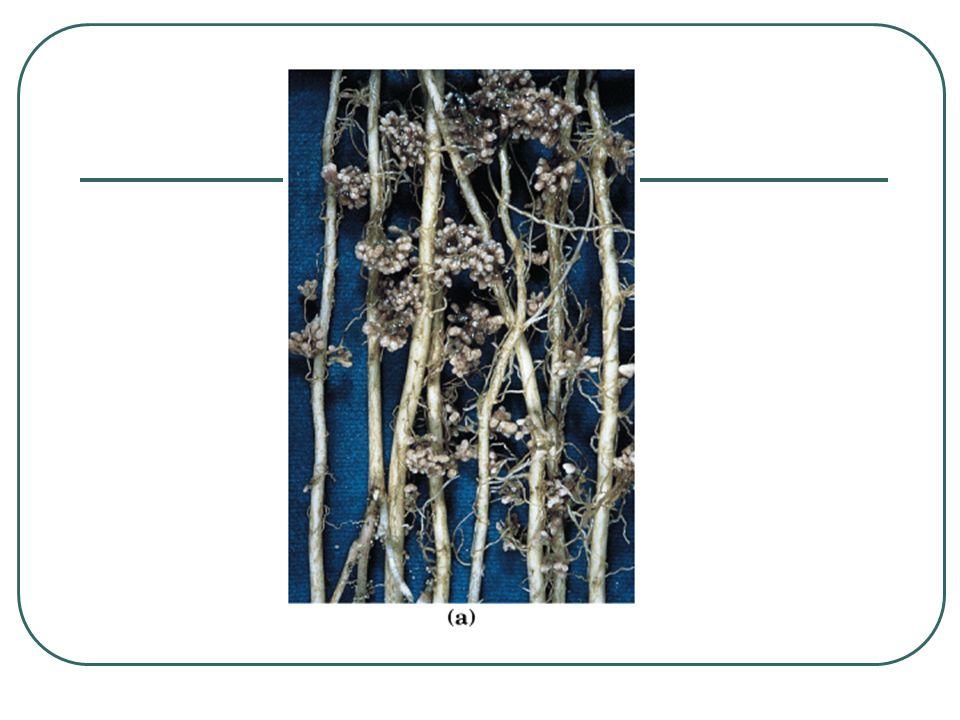 Inoculación de bacterias de vida libre En surcos: a chorro continuo sobre la semilla, alrededor de la semilla o a un lado de la misma.