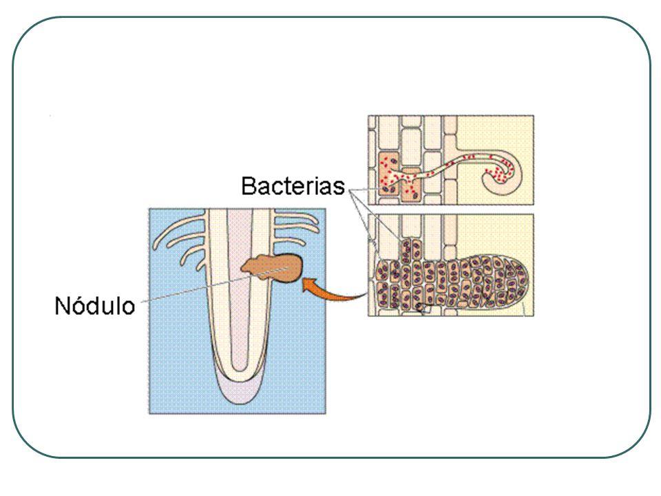 Usos Como biofertilizante del suelo (activador de los procesos de los microorganismos).