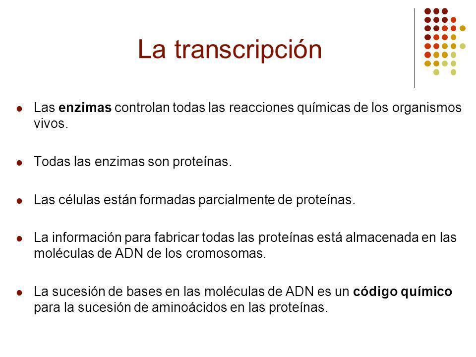 La transcripción Las enzimas controlan todas las reacciones químicas de los organismos vivos.