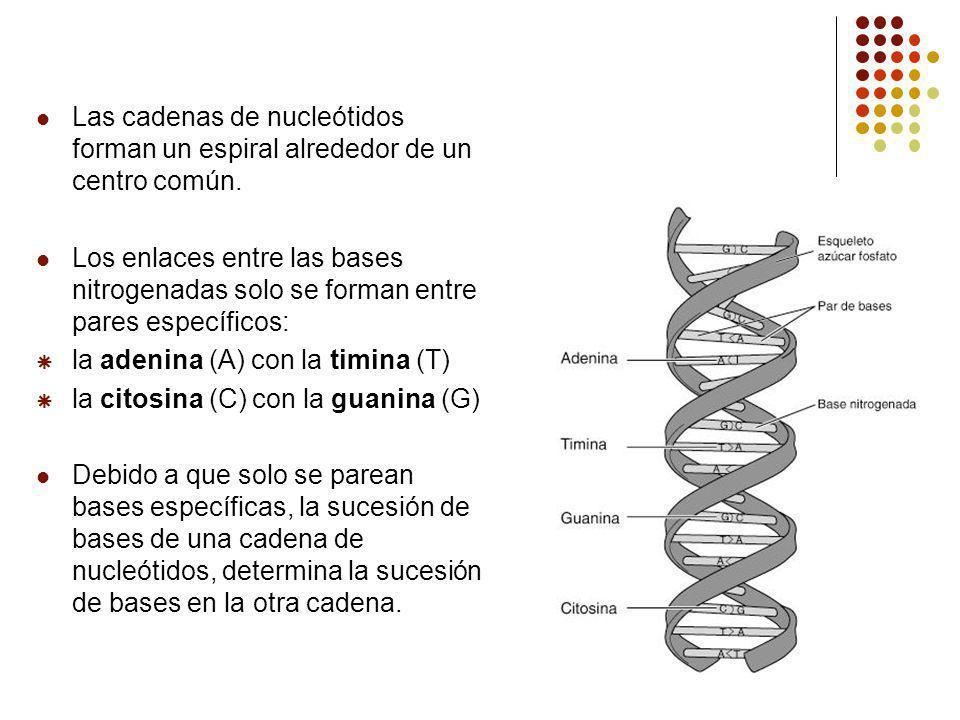 Las cadenas de nucleótidos forman un espiral alrededor de un centro común.