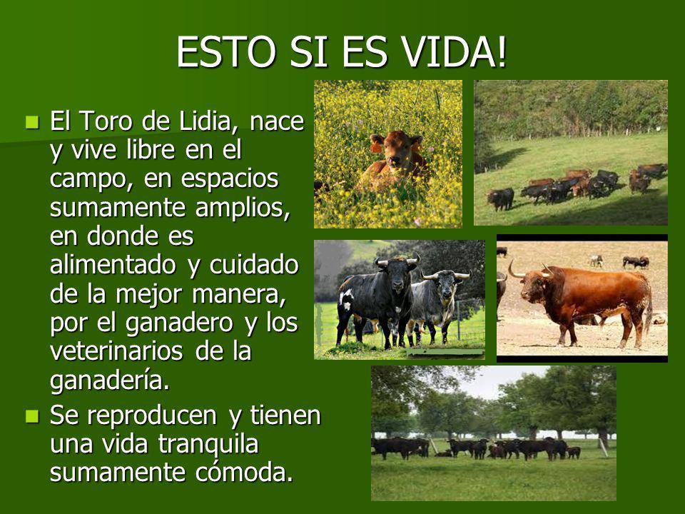 DEL CAMPO A LA PLAZA El toro es trasportado de la ganadería a la plaza donde será lidiado, en camiones con cajones individuales para cuidar su integridad física.