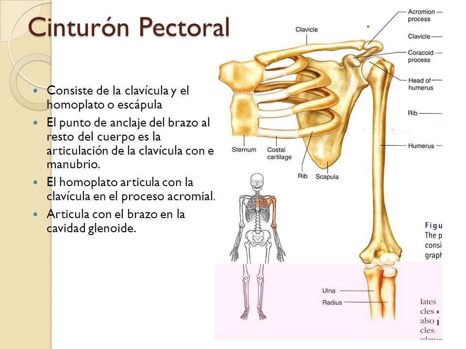 Consiste de la clavícula y el homoplato o escápula El punto de anclaje del brazo al resto del cuerpo es la articulación de la clavícula con el manubrio.