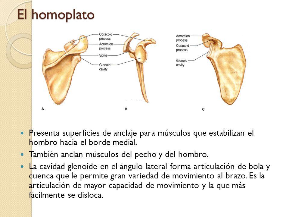 El homoplato Presenta superficies de anclaje para músculos que estabilizan el hombro hacia el borde medial. También anclan músculos del pecho y del ho