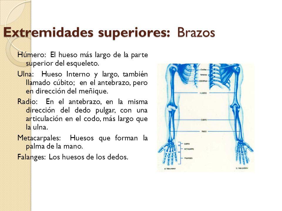 Extremidades superiores: Brazos Húmero: El hueso más largo de la parte superior del esqueleto. Ulna: Hueso Interno y largo, también llamado cúbito; en