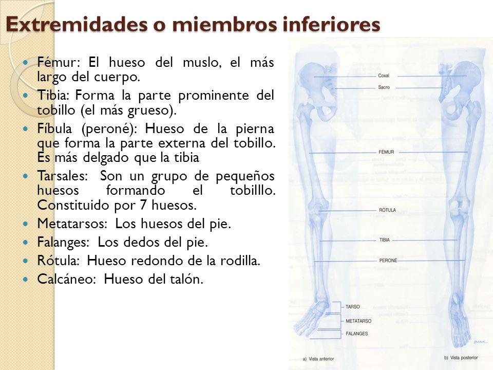 Extremidades o miembros inferiores Fémur: El hueso del muslo, el más largo del cuerpo. Tibia: Forma la parte prominente del tobillo (el más grueso). F