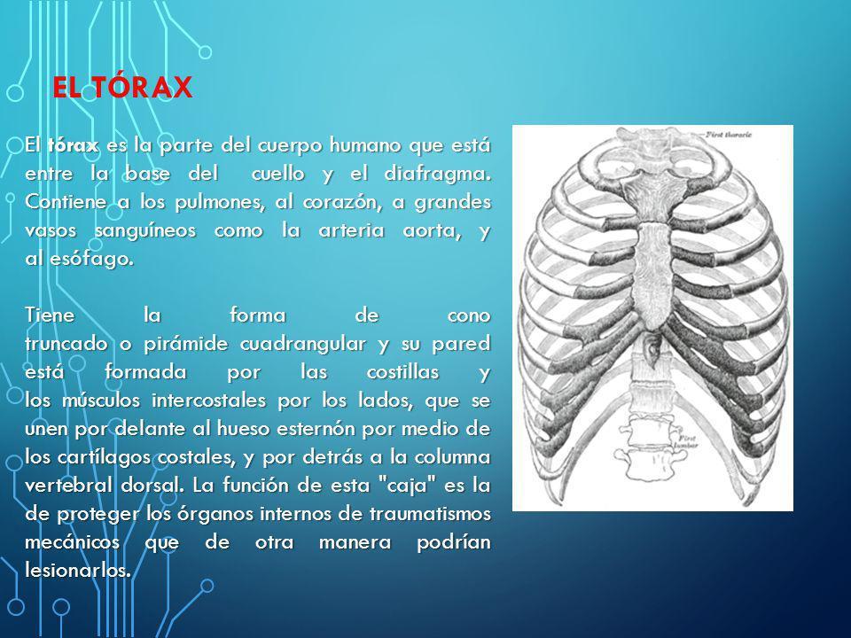 EL TÓRAX El tórax es la parte del cuerpo humano que está entre la base del cuello y el diafragma. Contiene a los pulmones, al corazón, a grandes vasos