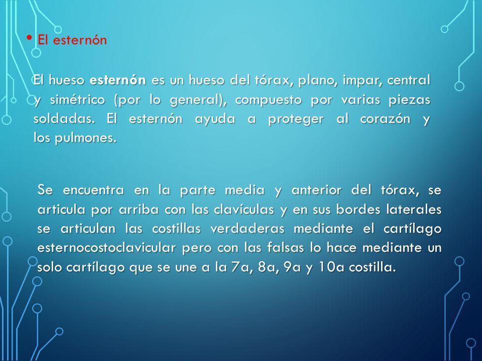 El hueso esternón es un hueso del tórax, plano, impar, central y simétrico (por lo general), compuesto por varias piezas soldadas. El esternón ayuda a