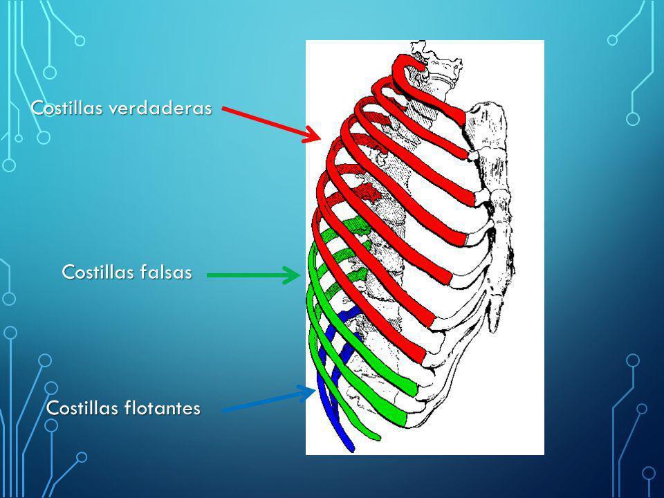 Clasificación: CervicalesCervicales: Unidas a la séptima vértebra cervical, son vestigiales en el ser humano, estando presentes (habitualmente sólo una) en el 0,2% de la población mundial.