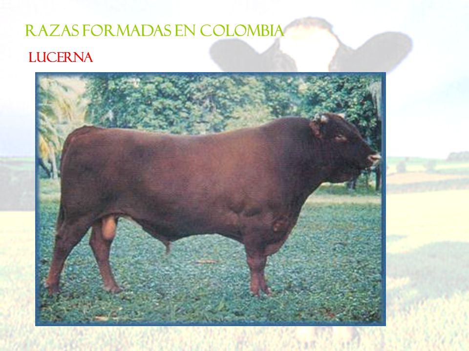RAZAS FORMADAS EN COLOMBIA LUCERNA