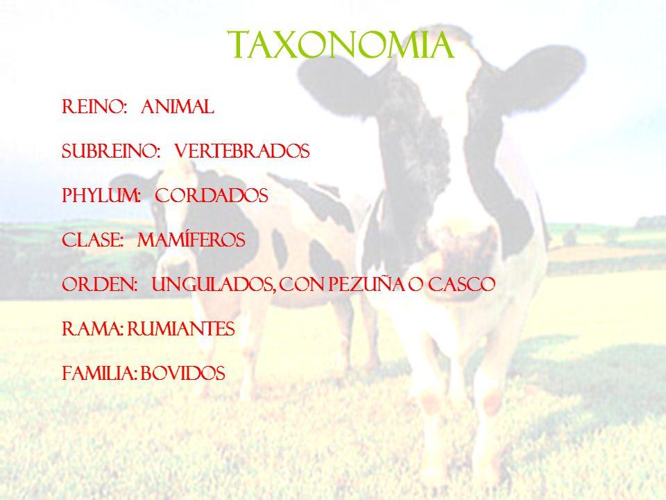 TAXONOMIA Reino: Animal Subreino: Vertebrados Phylum: Cordados Clase: Mamíferos Orden: Ungulados, con pezuña o casco Rama: Rumiantes Familia: Bovidos